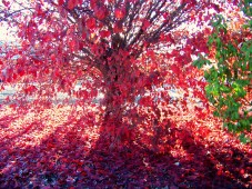 autum red